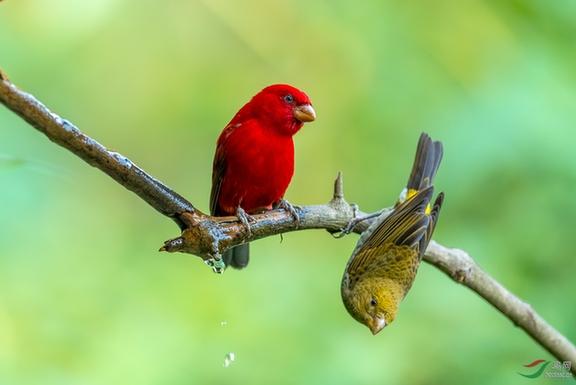 """2017年中国鸟网国际野生动物摄影年赛颁奖典礼12月11日在高黎贡山百花岭村举行。本届年赛是国内首次采用国际通用摄影比赛规则,并由国际权威裁判参与的大型专业比赛。 自今年5月份开始征稿以来,三项大赛共征集到作品10000余幅,其数量和规模在鸟网历年摄影大赛中,再创新高。本次活动中,""""2017年中国鸟网国际野生动物摄影年赛""""野生动物组、纯自然风光组、艺术(画意)摄影组分别设入围奖80、64、62名,优秀奖各10名,最佳奖各3名,金银铜奖各1名。""""2017年第二届高黎贡山国"""