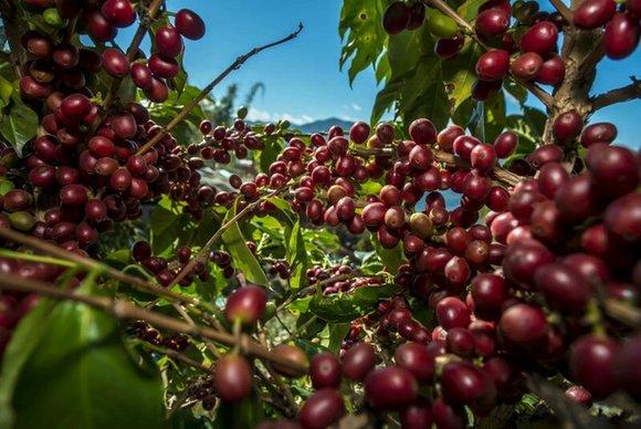 首届普洱(国际)精品咖啡博览会将于月底在云南普洱举办